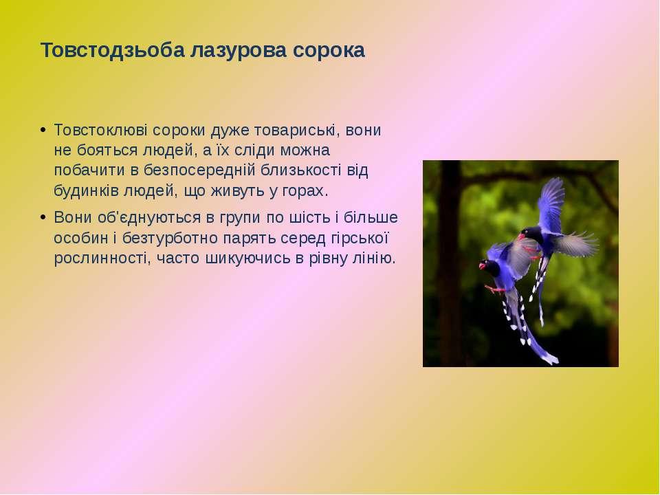 Товстоклюві сороки дуже товариські, вони не бояться людей, а їх сліди можна п...