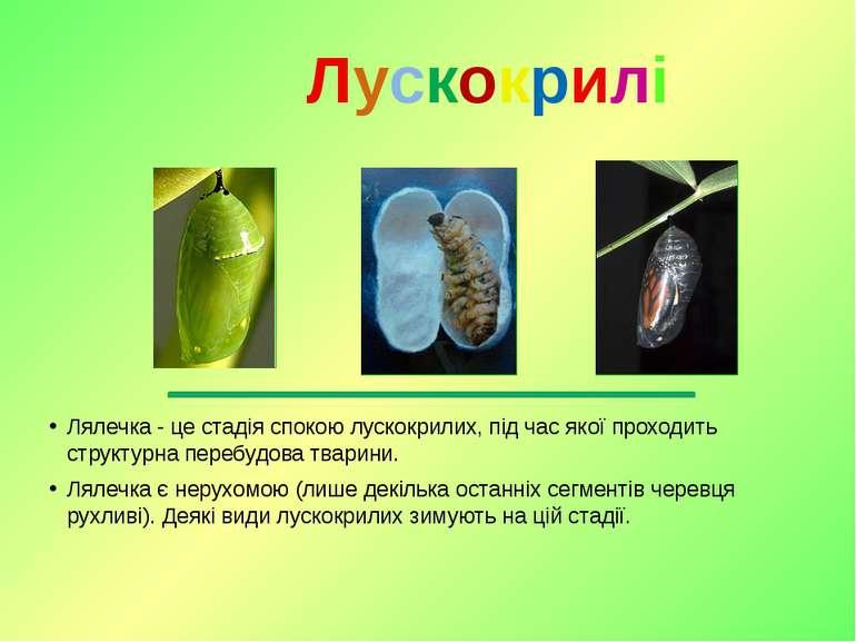 Лялечка - це стадія спокою лускокрилих, під час якої проходить структурна пер...