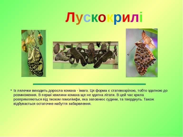 Із лялечки виходить доросла комаха-імаго. Ця форма є статевозрілою, тобто з...
