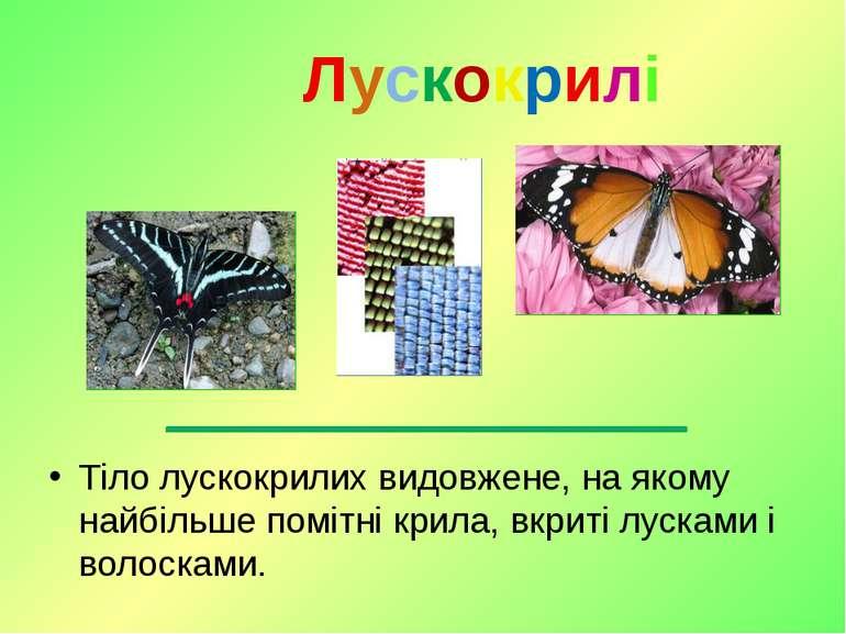Тіло лускокрилих видовжене, на якому найбільше помітні крила, вкриті лусками ...
