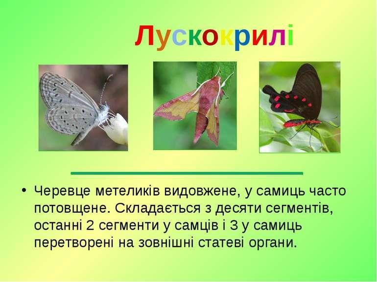 Черевце метеликів видовжене, у самиць часто потовщене. Складається з десяти с...