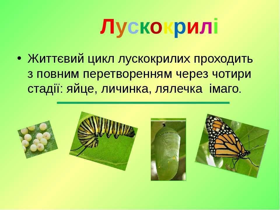 Життєвий цикл лускокрилих проходить зповним перетворенням через чотири стаді...