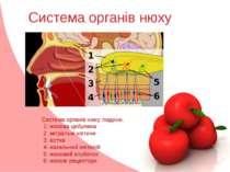 Система органів нюху