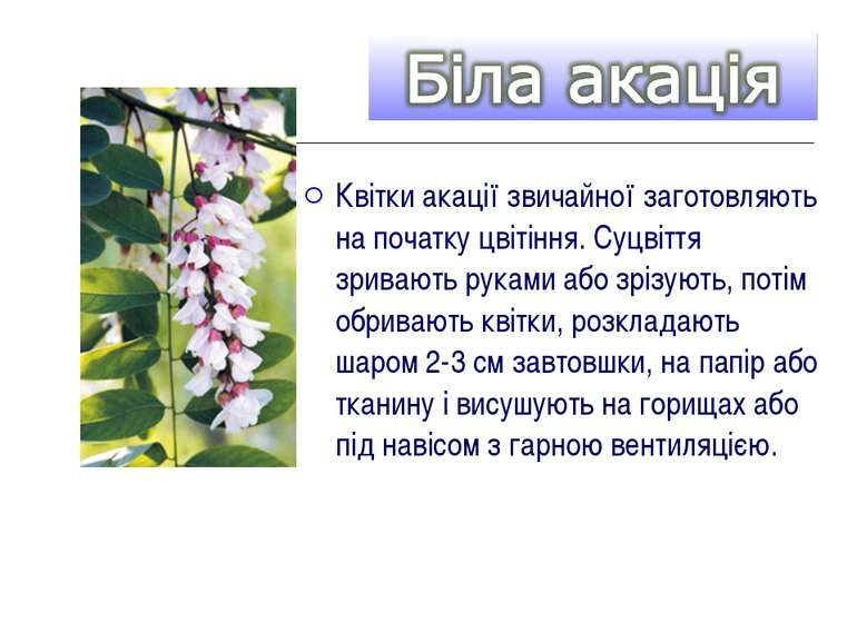 Квітки акації звичайної заготовляють на початку цвітіння. Суцвіття зривають р...
