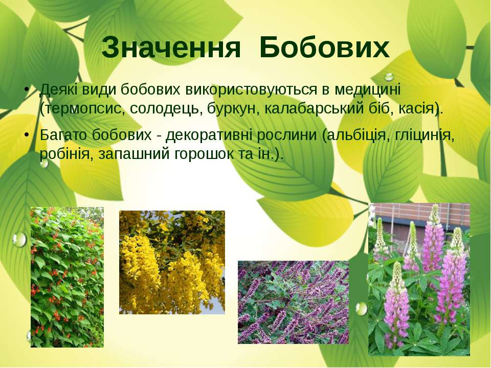 Деякі види бобових використовуються в медицині (термопсис, солодець, буркун, ...
