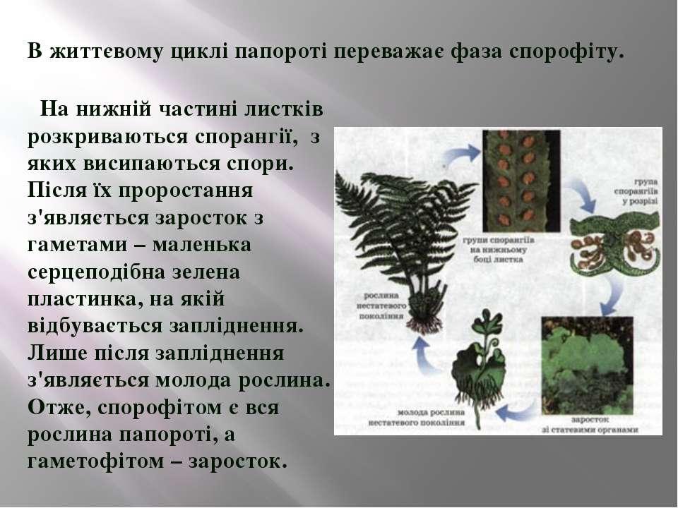 В життєвому циклі папороті переважає фаза спорофіту