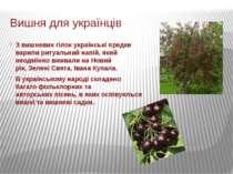Вишня для українців З вишневих гілок українські предки варили ритуальний напі...