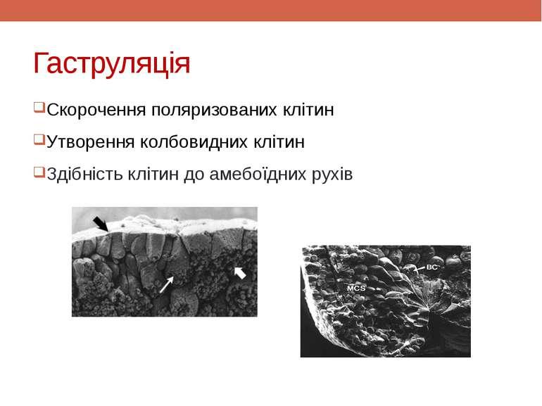 Гаструляція Скорочення поляризованих клітин Утворення колбовидних клітин Здіб...