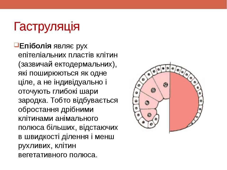 Гаструляція Епіболія являє рух епітеліальних пластів клітин (зазвичай ектодер...