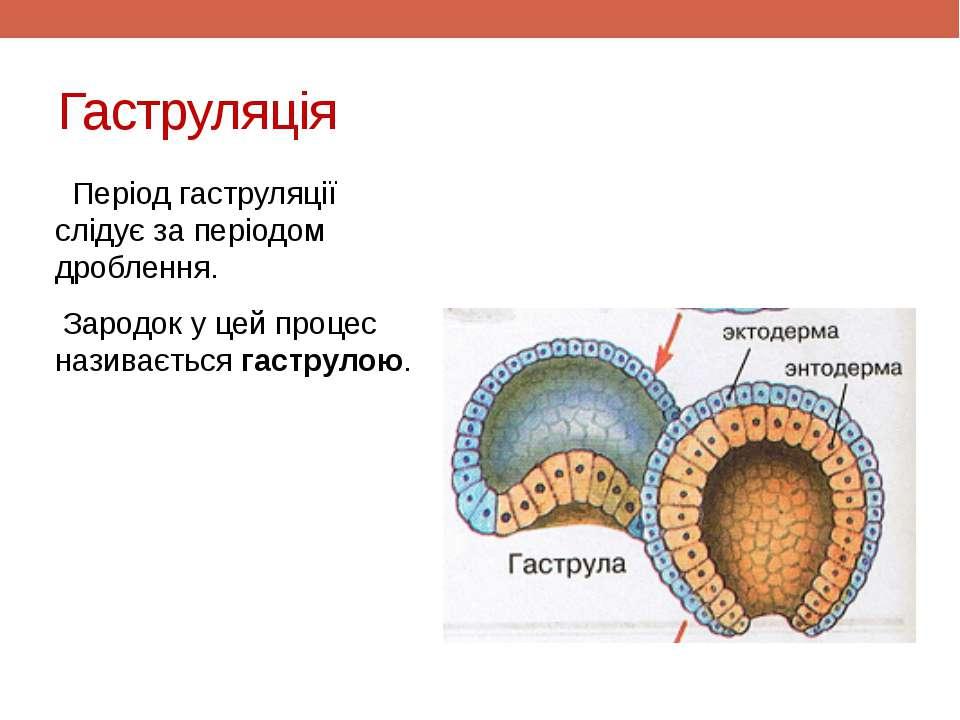 Гаструляція Період гаструляції слідує за періодом дроблення. Зародок у цей пр...