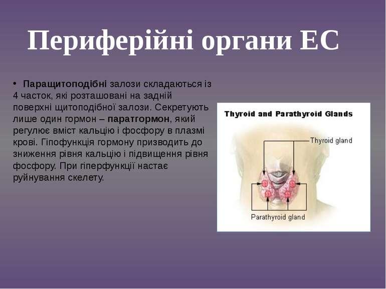 Паращитоподібні залози складаються із 4 часток, які розташовані на задній пов...