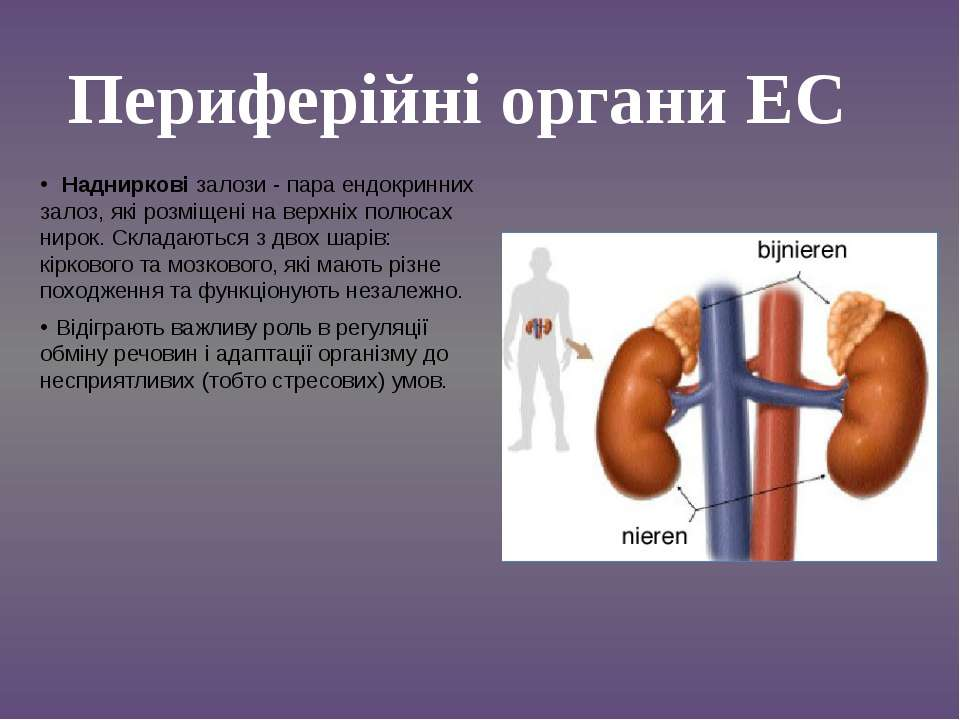 Надниркові залози - пара ендокринних залоз, які розміщені на верхніх полюсах ...