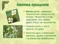 Квітка грициків Квіткидрібні, правильні. Чашолистків і пелюсток по чотири. П...
