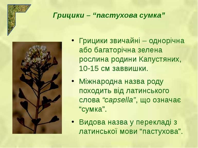 Грицики звичайні – однорічна або багаторічна зелена рослина родини Капустяних...