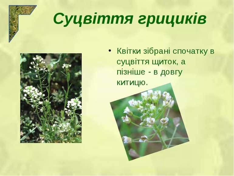 Квітки зібрані спочатку в суцвіття щиток, а пізніше - в довгу китицю. Суцвітт...