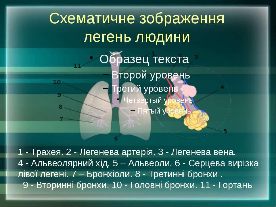 Схематичне зображення легень людини 1 - Трахея. 2 - Легенева артерія. 3 - Лег...
