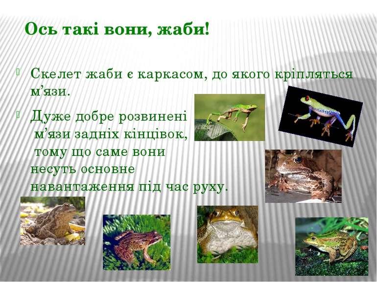 Скелет жаби є каркасом, до якого кріпляться м'язи. Дуже добре розвинені м'язи...