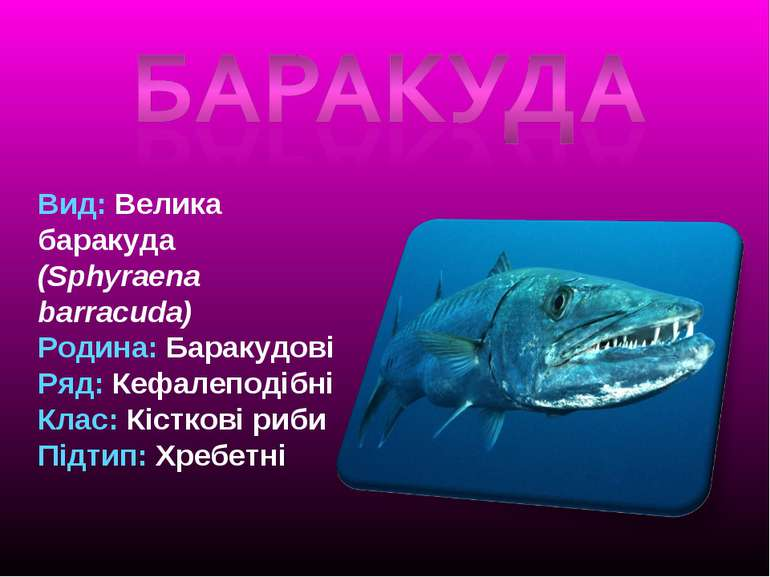 Вид: Велика баракуда (Sphyraena barracuda) Родина: Баракудові Ряд: Кефалеподі...