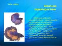 Бійцівська рибка або сіамський півник - невелика риба, що поширена в стоячих ...