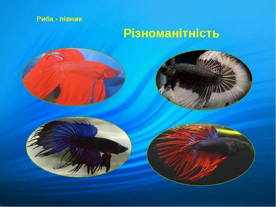 Різноманітність Риба - півник