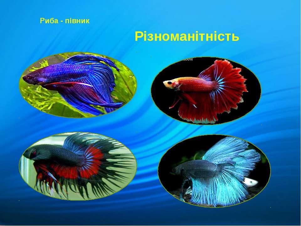 Риба - півник Різноманітність