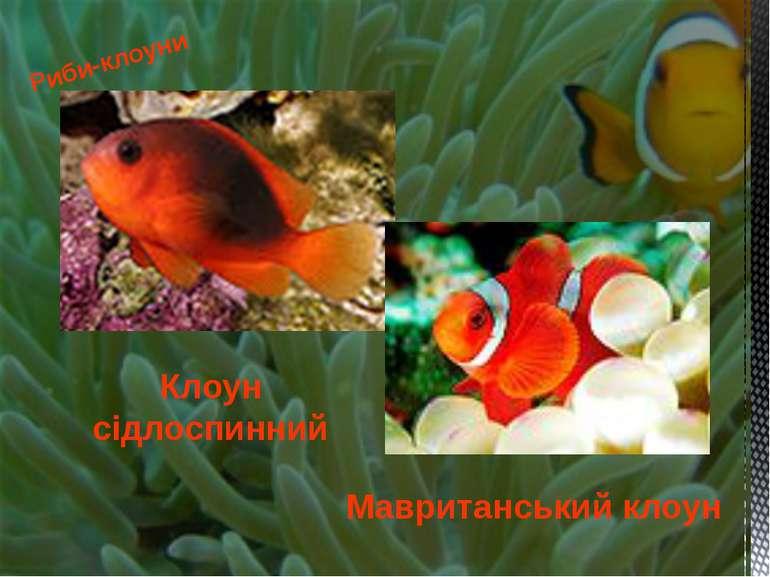 Риби-клоуни Клоун сідлоспинний Мавританський клоун