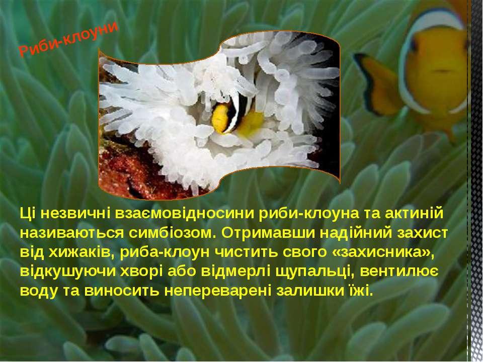Ці незвичні взаємовідносини риби-клоуна та актиній називаються симбіозом. Отр...