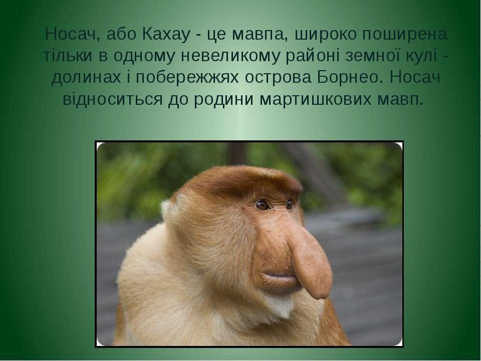 Носач, або Кахау - це мавпа, широко поширена тільки в одному невеликому район...