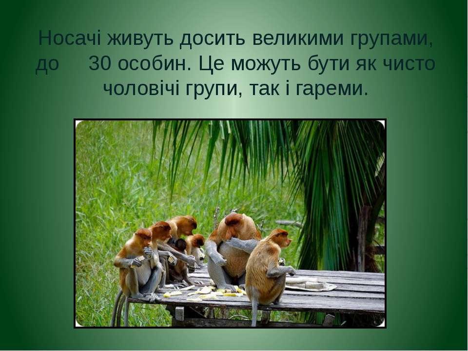 Носачі живуть досить великими групами, до 30 особин. Це можуть бути як чисто ...