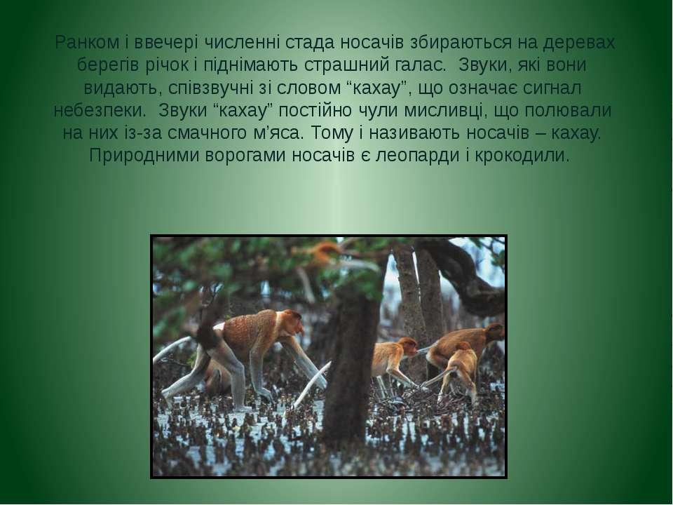 Ранком і ввечері численні стада носачів збираються на деревах берегів річок і...