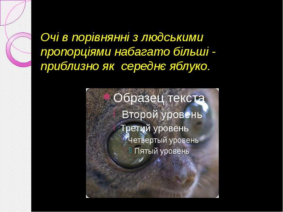 Очі в порівнянні з людськими пропорціями набагато більші - приблизно як серед...