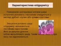 Поверхнево розташовані клітини шкіри остаточно роговіють і поступово злущують...