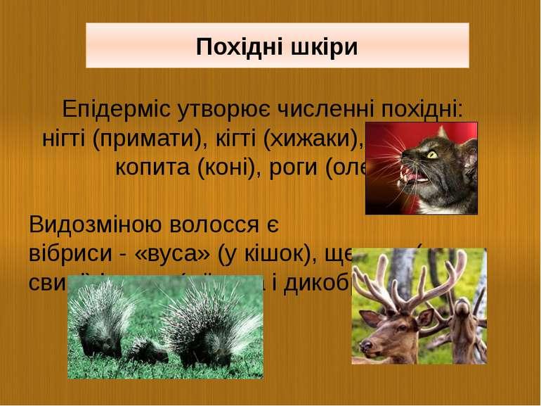 Епідерміс утворює численні похідні: нігті (примати), кігті (хижаки), копита (...