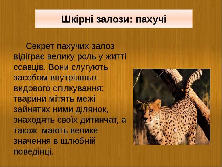 Секрет пахучих залоз відіграє велику роль у житті ссавців. Вони слугують засо...