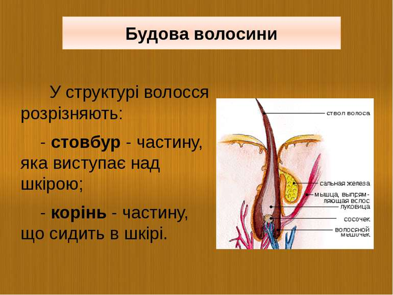 У структурі волосся розрізняють: - стовбур - частину, яка виступає над шкірою...
