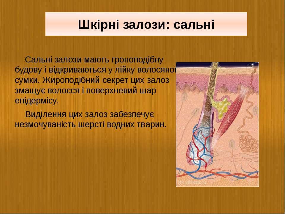 Сальні залози мають гроноподібну будову і відкриваються у лійку волосяної сум...