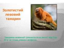 Тамарини зазвичай тримаються на висоті від 3 до 10 м на гілках, ліанах і епіф...