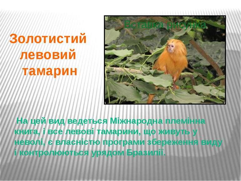 На цей вид ведеться Міжнародна племінна книга, і все левові тамарини, що живу...