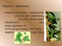 Корені - причіпки Корені-причіпки - видозмінені корені, які з'являються у вит...