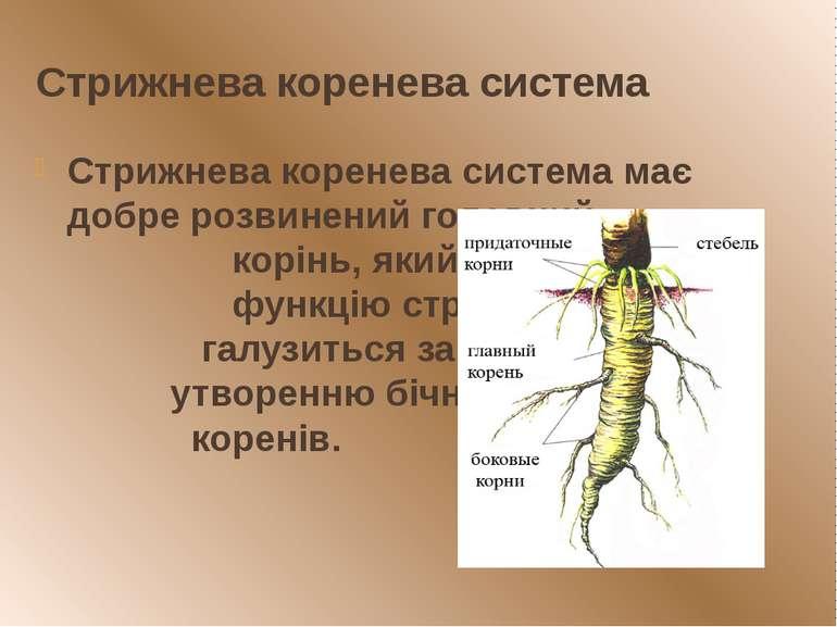 Стрижнева коренева система Стрижнева коренева система має добре розвинений го...