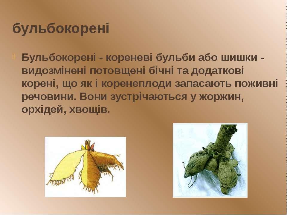 бульбокорені Бульбокорені - кореневі бульби або шишки - видозмінені потовщені...