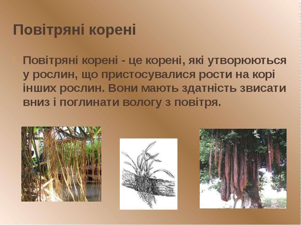 Повітряні корені Повітряні корені - це корені, які утворюються у рослин, що п...