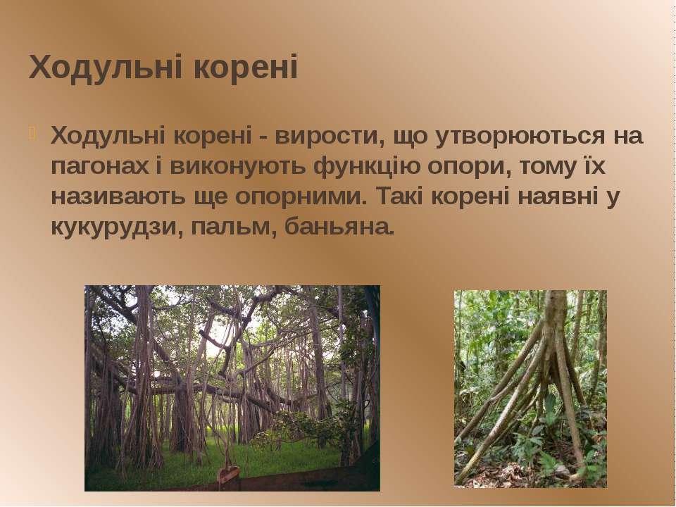 Ходульні корені Ходульні корені - вирости, що утворюються на пагонах і викону...