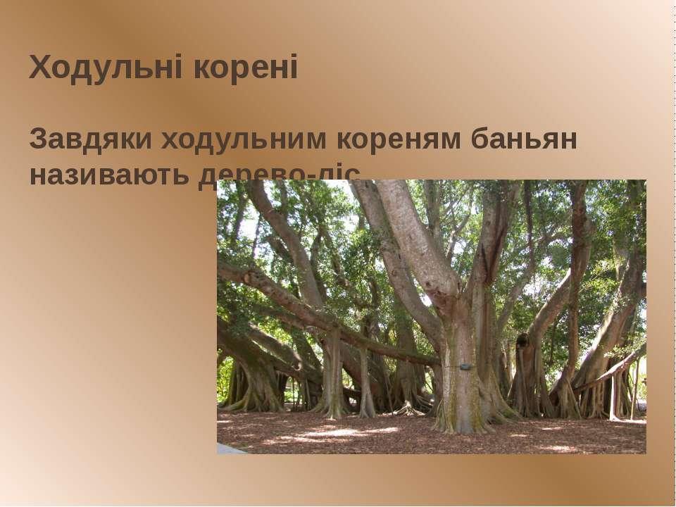Ходульні корені Завдяки ходульним кореням баньян називають дерево-ліс.