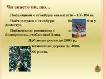 Чи знаєте ви, що… Найвищими є стовбури евкаліптів – 100-105 м. Найтовщими є с...