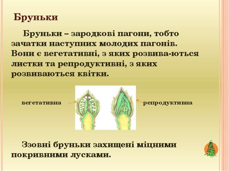 Бруньки Бруньки – зародкові пагони, тобто зачатки наступних молодих пагонів. ...
