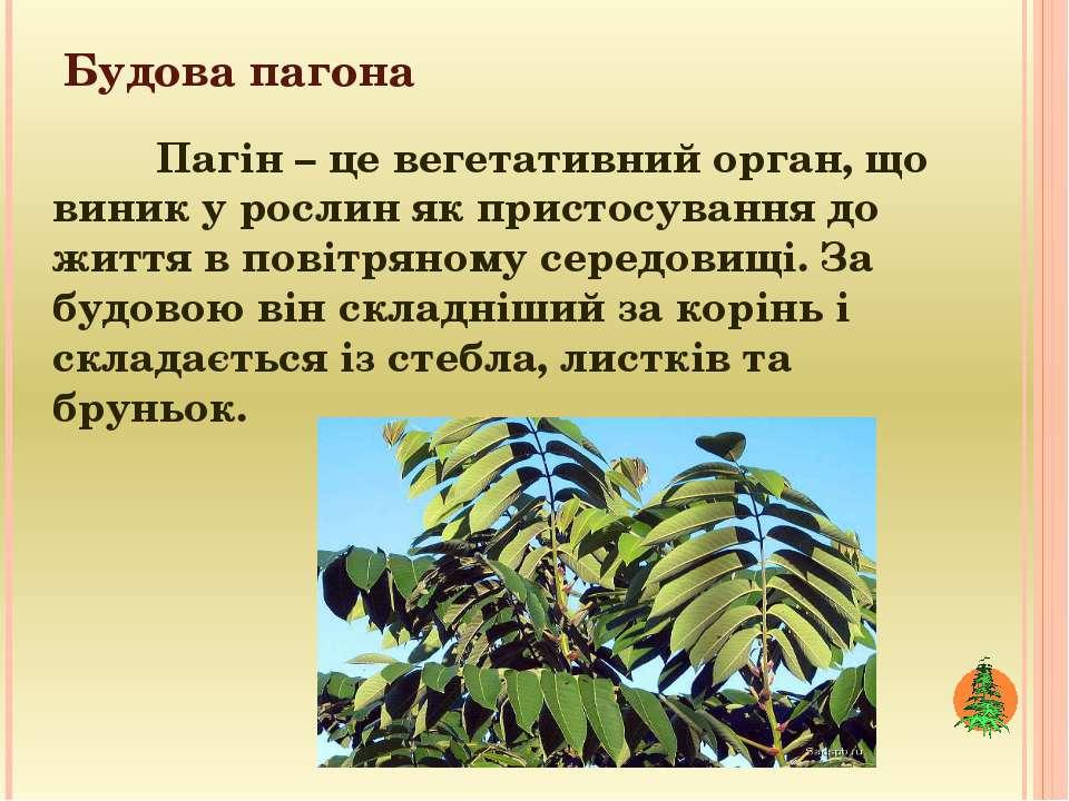 Будова пагона Пагін – це вегетативний орган, що виник у рослин як пристосуван...