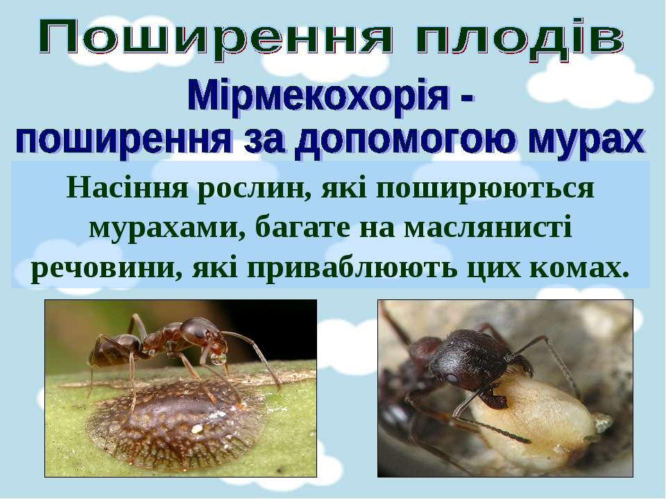 Насіння рослин, які поширюються мурахами, багате на маслянисті речовини, які ...