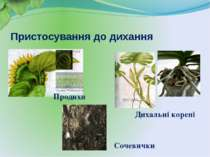 Пристосування до дихання Дихальні корені Продихи Сочевички