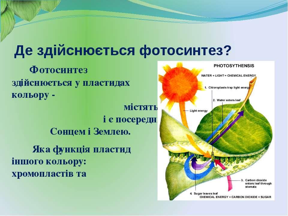 Де здійснюється фотосинтез? Фотосинтез здійснюється у пластидах зеленого коль...